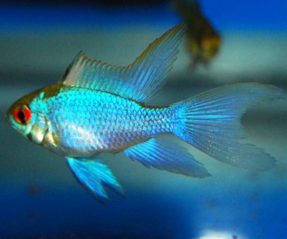 Ram - Long Finned Electric Blue - 2 inch
